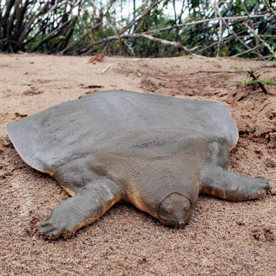 Soft shelled turtles make resurgence in Israels rivers!